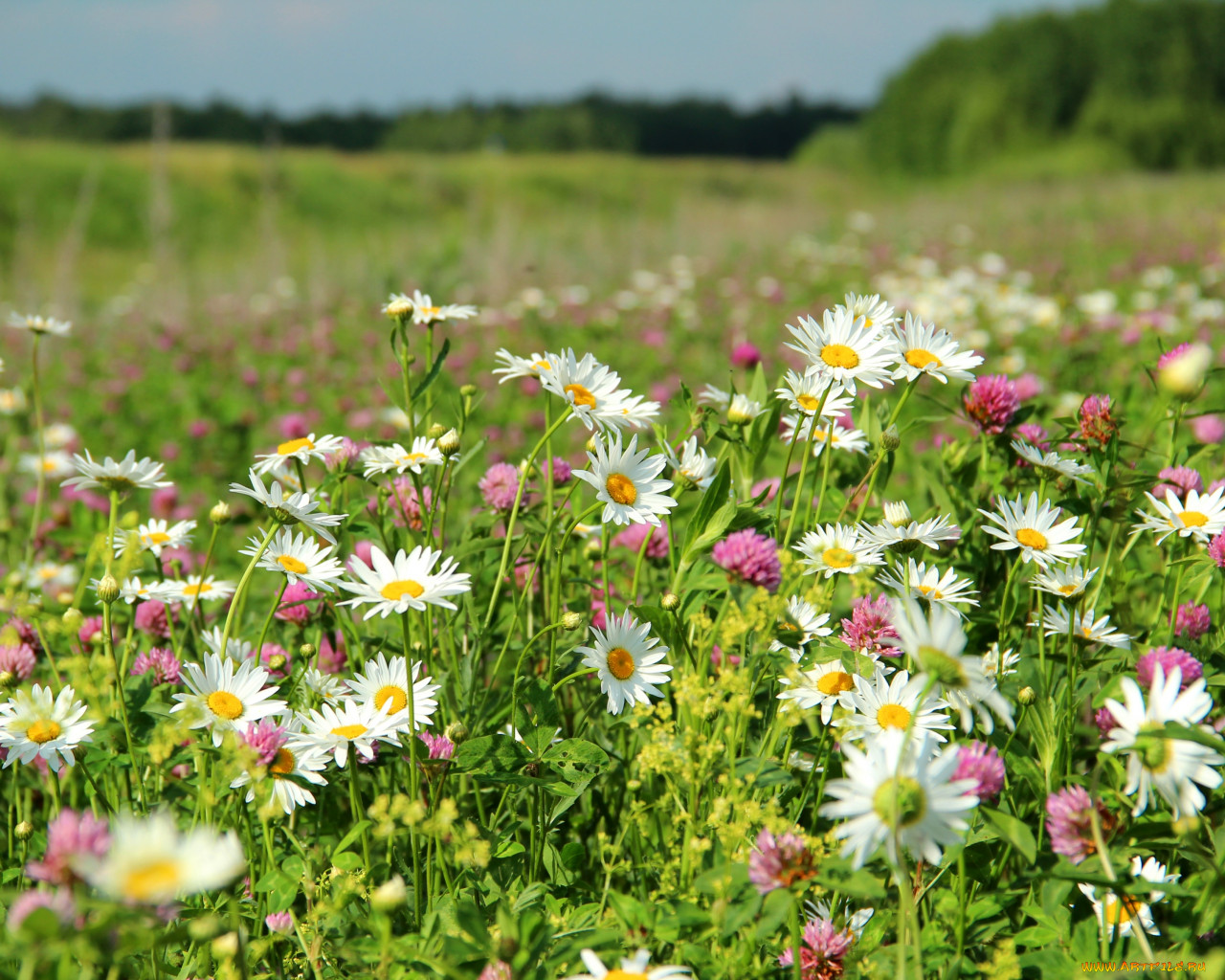 Красивые картинки с полевыми цветами в поле